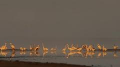 Great Egret. Flock in fog. Stock Footage
