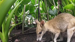 Nice wallaby licking the camera in the queensland zoo Stock Footage