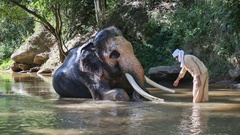 Asian mahout with elephant in creek ,Chiang mai Thailand. Stock Footage