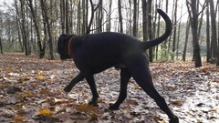 Young Pet Dog Cane Corso Run On A Forest Slow Motion Stock Footage