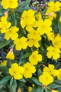 Shrubby evening primrose (Oenothera fruticosa L. ) Stock Photos