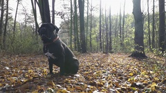 Junior Dog Cane Corso sitting on the leaves in Autumn Forest. Stock Footage