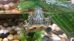 Small marine turtle swim in aquarium Stock Footage