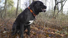 Junior Dog Cane Corso sitting on the leaves and play with branch Stock Footage
