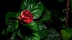4K Blooming Hibiscus Flower Timelapse, stamen Arkistovideo