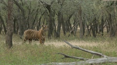 Bengal Tiger being alert in search of prey, in dry forest Stock Footage