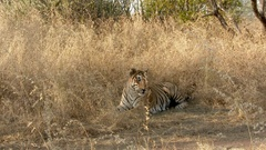 Bengal Tiger relaxing and streching between dry grasses Stock Footage
