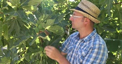 Serious Agriculturist Man Inspecting Figs Tree and Checking the Quality of Fruit Stock Footage