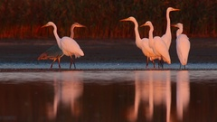 Great Egret. Flock at dawn. Stock Footage