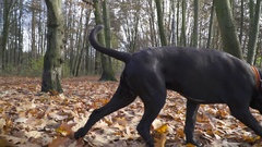 Alone Young Dog Cane Corso Breed walk On A Autumn Forest240fps Stock Footage