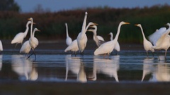 Great Egret. Flock in morning. Stock Footage