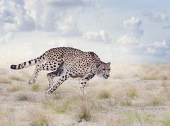 Cheetah Running in The Grassland Stock Illustration