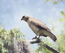 Red-Shouldered Hawk Perching Stock Illustration