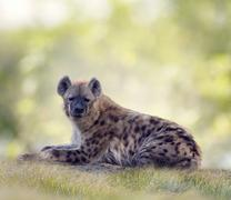 Spotted hyena resting Stock Illustration