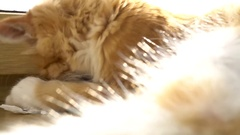 Close up of a funny young cat lying at the windsill and playung with piece of Stock Footage