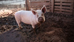 Young pig is dirty in the mud Stock Footage