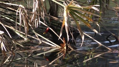 Common Moorhen swimming in a pond. Stock Footage