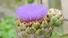 A pink flower plant named Cirsium in the garden Stock Footage