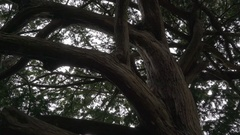 The big branch of the tree in the park Stock Footage