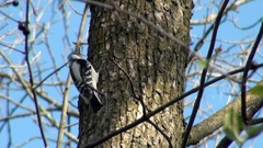 Woodpecker looking for food Stock Footage