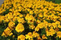 Yellow Marigolds blooming in the garden. Stock Photos