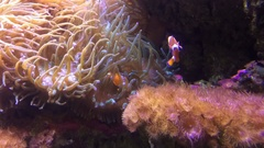 Time lapse tropical fish swim in coral sea reef Stock Footage
