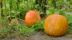 The huge calabaza or squash in the garden Stock Footage