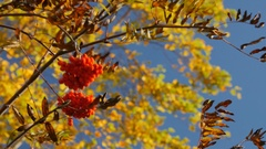 Branch with ripe rowan berries in autumn Stock Footage