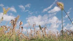 Timelapse over cultivated field of dried wheat plant Stock Footage
