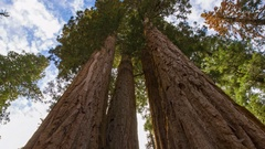 MoCo Timelapse Low Angle Tracking Shot of Giant Sequoia Grove -Zoom Out- Stock Footage