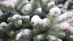 Snow-covered tree branch. pine or spruce. winter Stock Footage