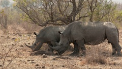 White Rhinoceros, (Ceratotherium simum) two together  grazing in woodland, lock Stock Footage