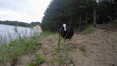 Common Coot (Fulica atra) on land next to a lake, looking at camera Stock Footage