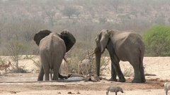 African elephant (Loxodonta africana) together with Kudu at waterhole Stock Footage