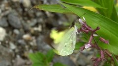 Yellow butterfly (family Pieridae) slow motion Stock Footage