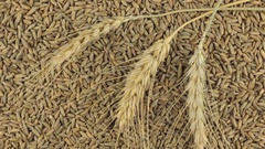 Rotation of the spikelets of wheat lying on the rye grains Stock Footage