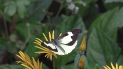 White butterfly (family Pieridae) slow motion Stock Footage