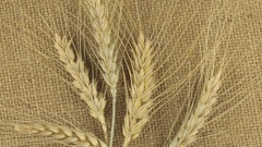 Rotation of the spikelets of wheat lying on sackcloth Stock Footage