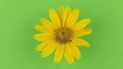 Slow rotation of a yellow camomile on a green background, keying Stock Footage