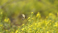 Swallowtail butterfly (Papilio machaon) sitting on yellow flower in 4k Stock Footage