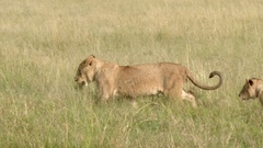 African lion (Panthera leo) juveniles playing, one with a clump of grass in Stock Footage