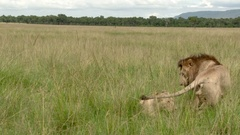 African Lion pair (Panthera leo) in courtship, mating, in high grasses. Stock Footage