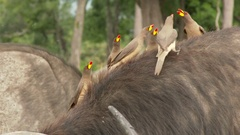 Cape buffalo  (Syncerus caffer ) with Yellow-billed Oxpeckers (Buphagus Stock Footage