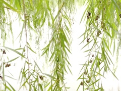 Close up of weeping willow Stock Footage