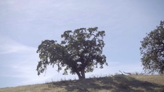 Moving shot of lonely oak tree in San Francisco California Stock Footage