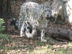 Snow leopard (Panthera uncia) walking, slow motion. Stock Footage