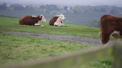 4K Cattle herd grazing in the field, farm in the English countryside. No people Stock Footage