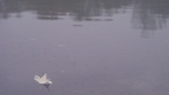 White feather on the quiet lake Stock Footage
