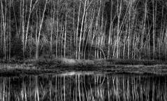 Stand of Aspen Next to Pond in Black and White Stock Photos