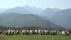 Herd of sheep grazing the pasture near the mountain Stock Footage